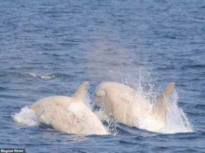 WATCH: Pair of rare white orcas spotted off the coast of Japan
