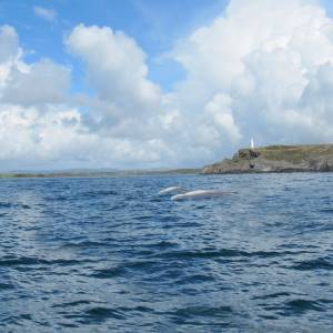 Beluga Whales sighted as far south as Isles of Scilly